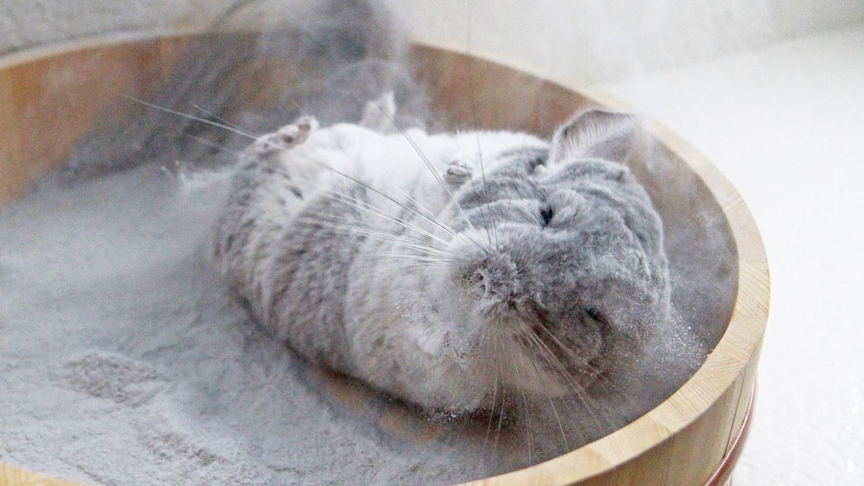Chinchilla bathing in sand